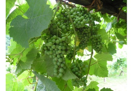 Acheter en ligne Txakoli | Vin Blanc Pays Basque